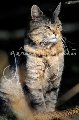 Chat Forestier