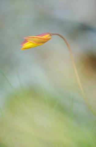 DSC_5907.Tulipe australe